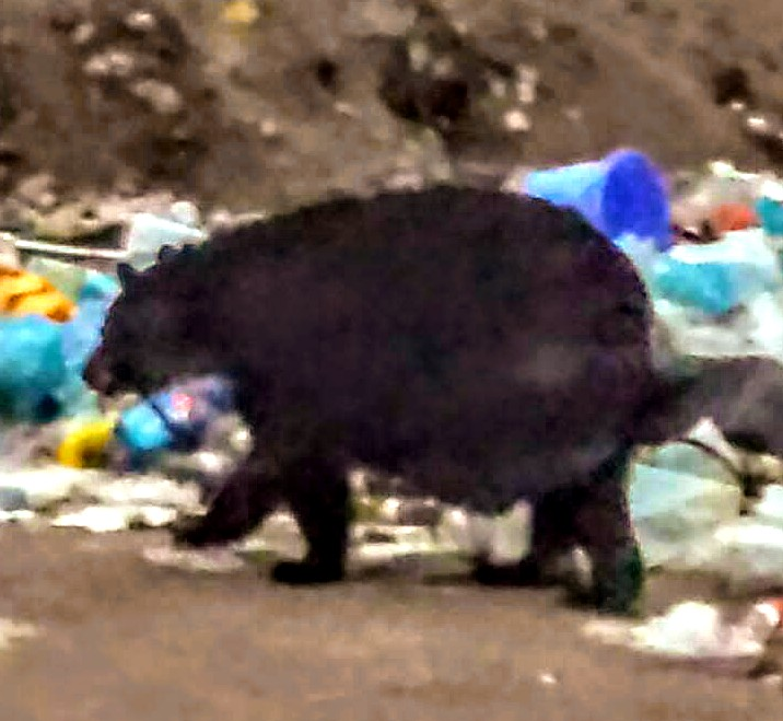 Nipissing garbage bear