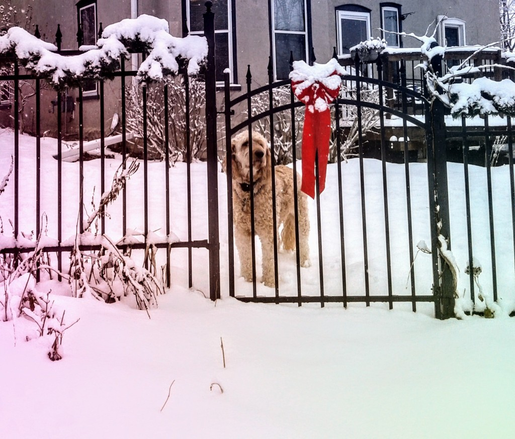 Goldendoodle behind wrought iron fence in the snow